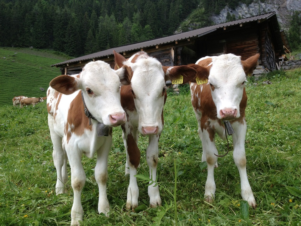 Swiss_cows.JPG